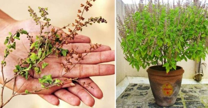 Grow-Tulsi-Plant-at-Home